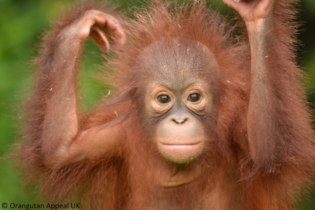 AlisonBristo_orangutan02